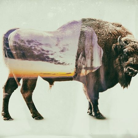 Bison double exposition